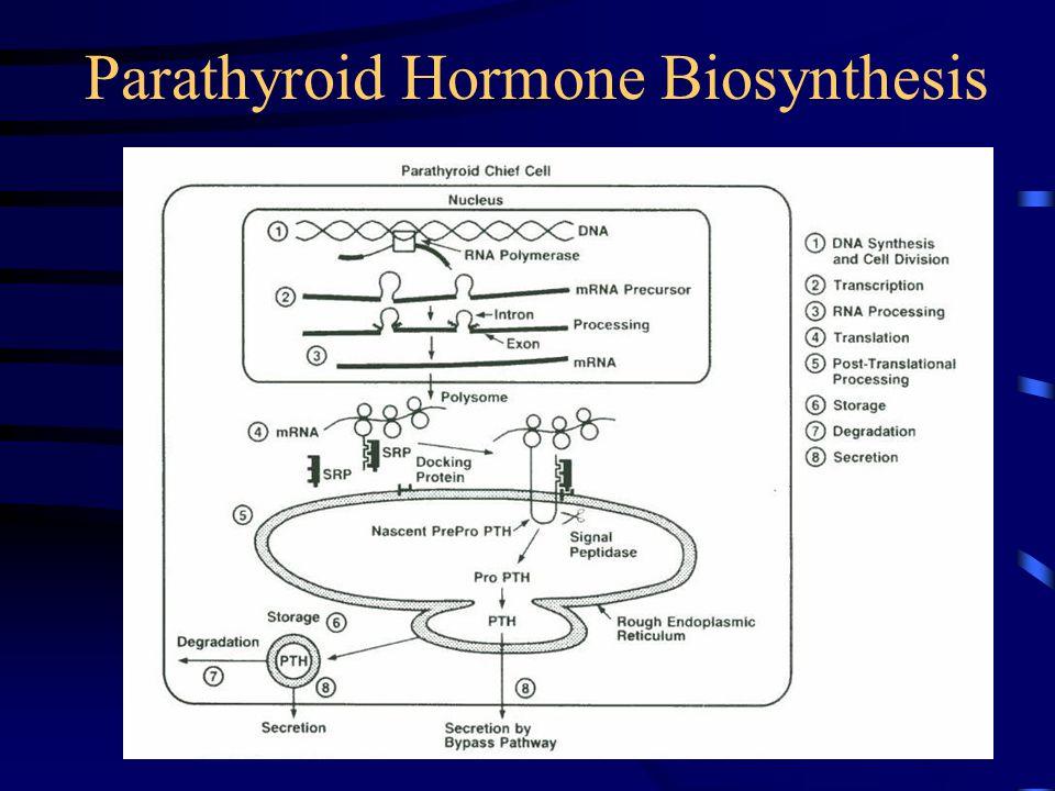 Parathyroid Hormone Biosynthesis