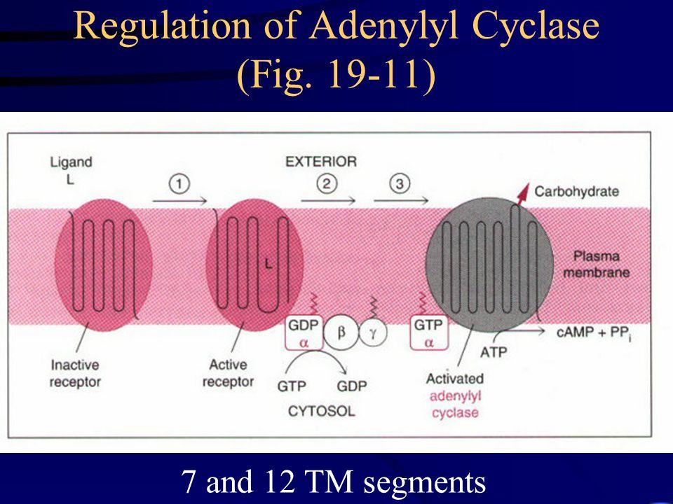 Regulation of Adenylyl Cyclase (Fig. 19-11)