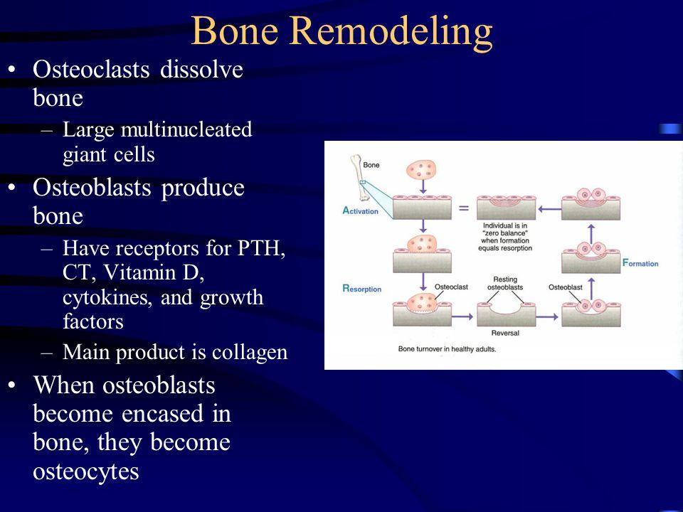 Bone Remodeling Osteoclasts dissolve bone Osteoblasts produce bone