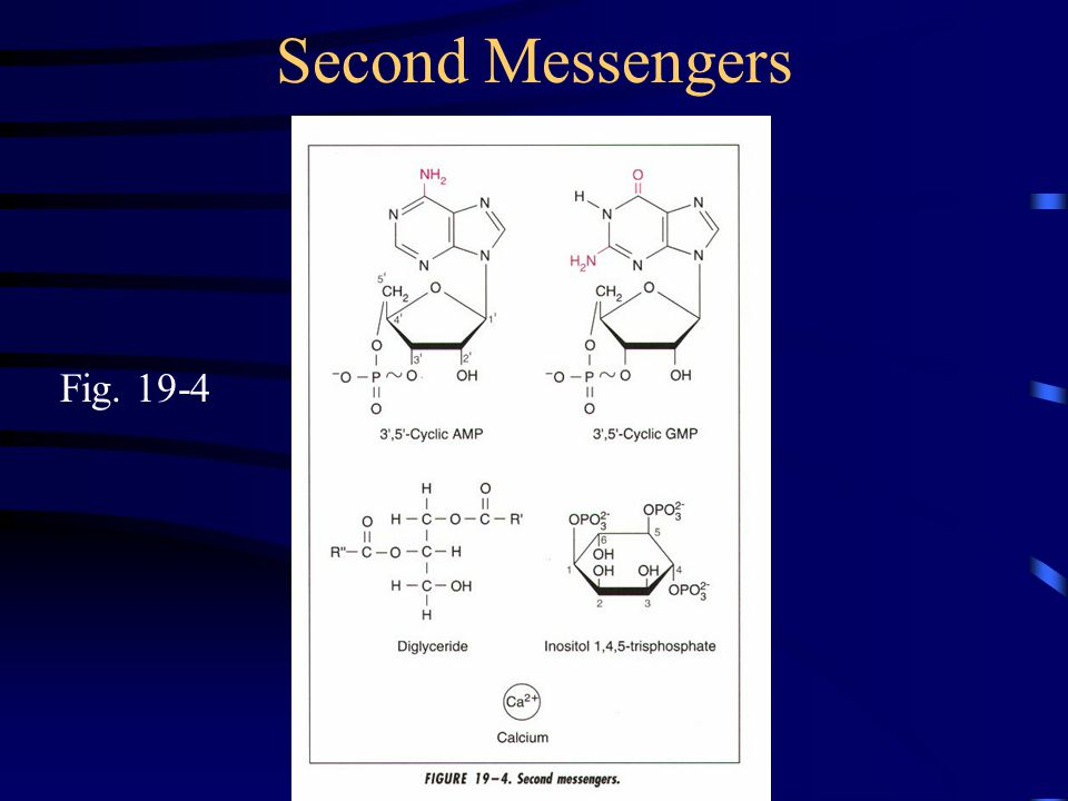 Second Messengers Fig. 19-4