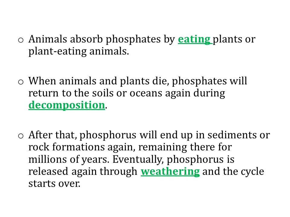 Animals absorb phosphates by eating plants or plant-eating animals.