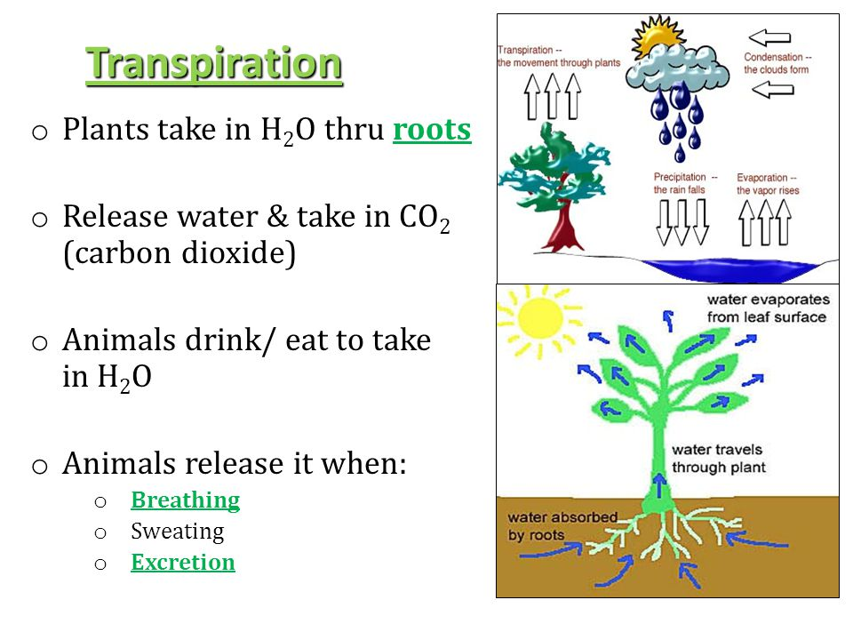 Transpiration Plants take in H2O thru roots