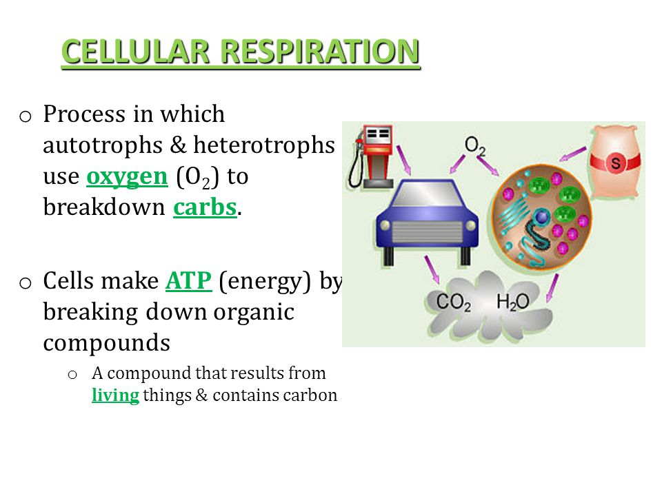 CELLULAR RESPIRATION Process in which autotrophs & heterotrophs use oxygen (O2) to breakdown carbs.