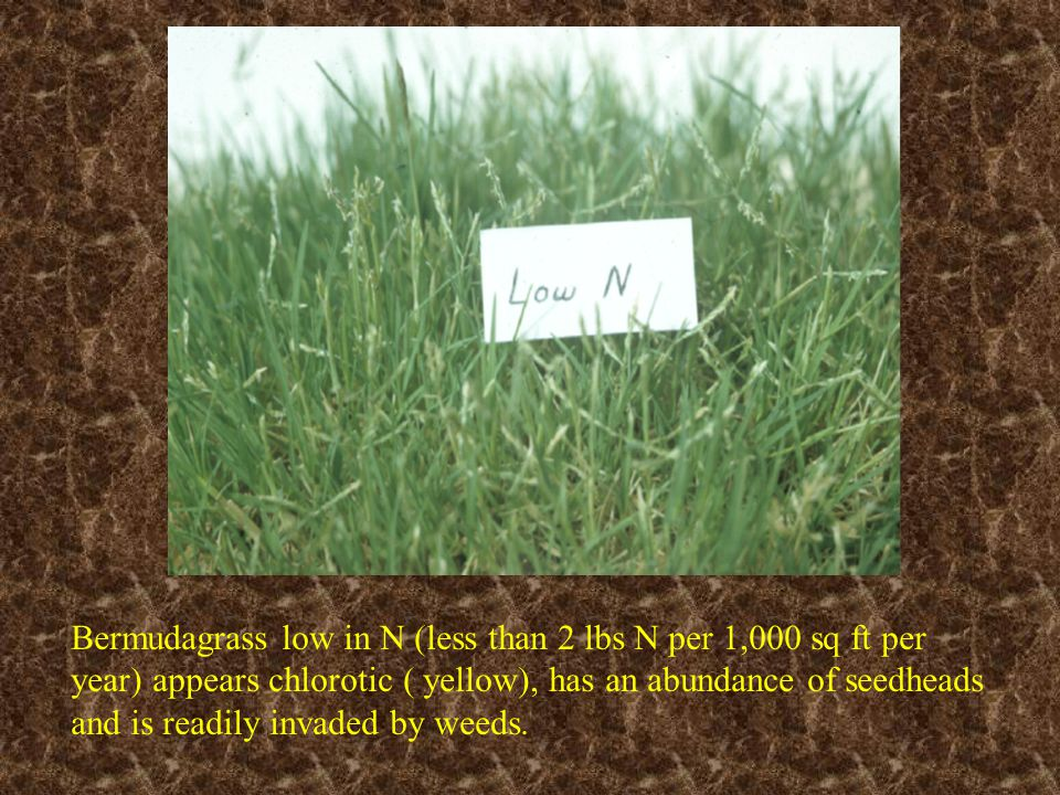 Bermudagrass low in N (less than 2 lbs N per 1,000 sq ft per year) appears chlorotic ( yellow), has an abundance of seedheads and is readily invaded by weeds.
