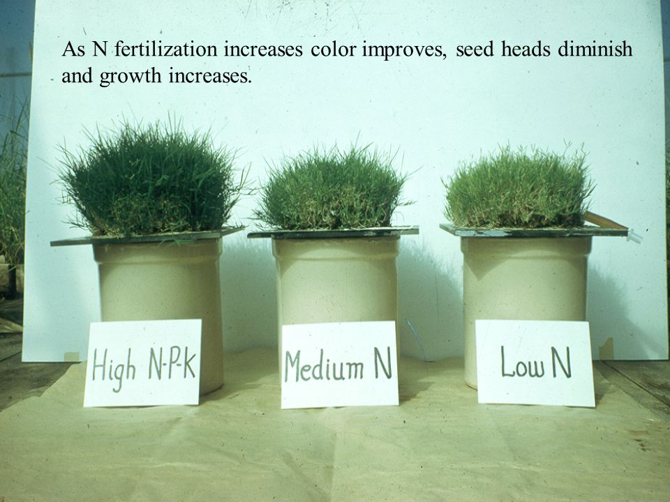 As N fertilization increases color improves, seed heads diminish and growth increases.