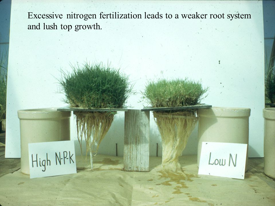 Excessive nitrogen fertilization leads to a weaker root system and lush top growth.