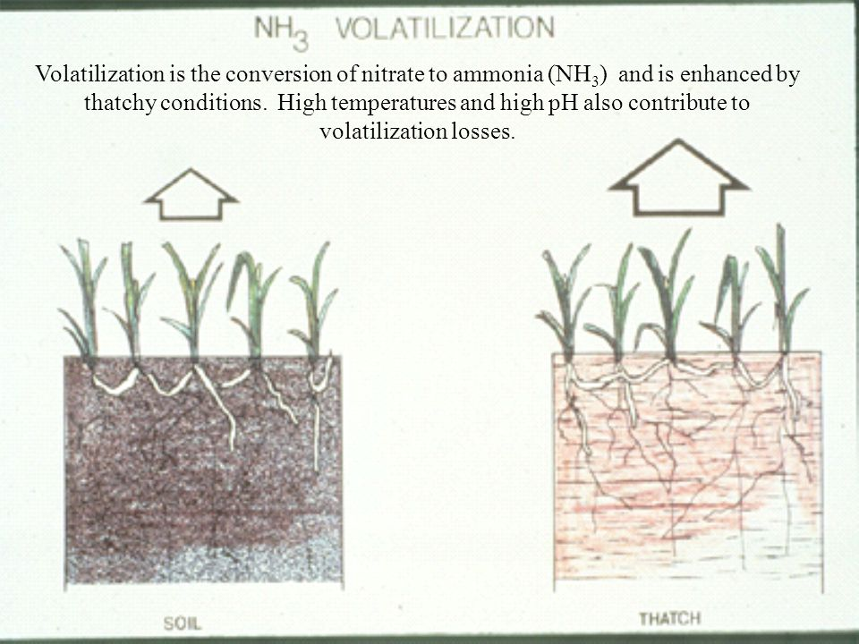 Volatilization is the conversion of nitrate to ammonia (NH3) and is enhanced by thatchy conditions. High temperatures and high pH also contribute to volatilization losses.
