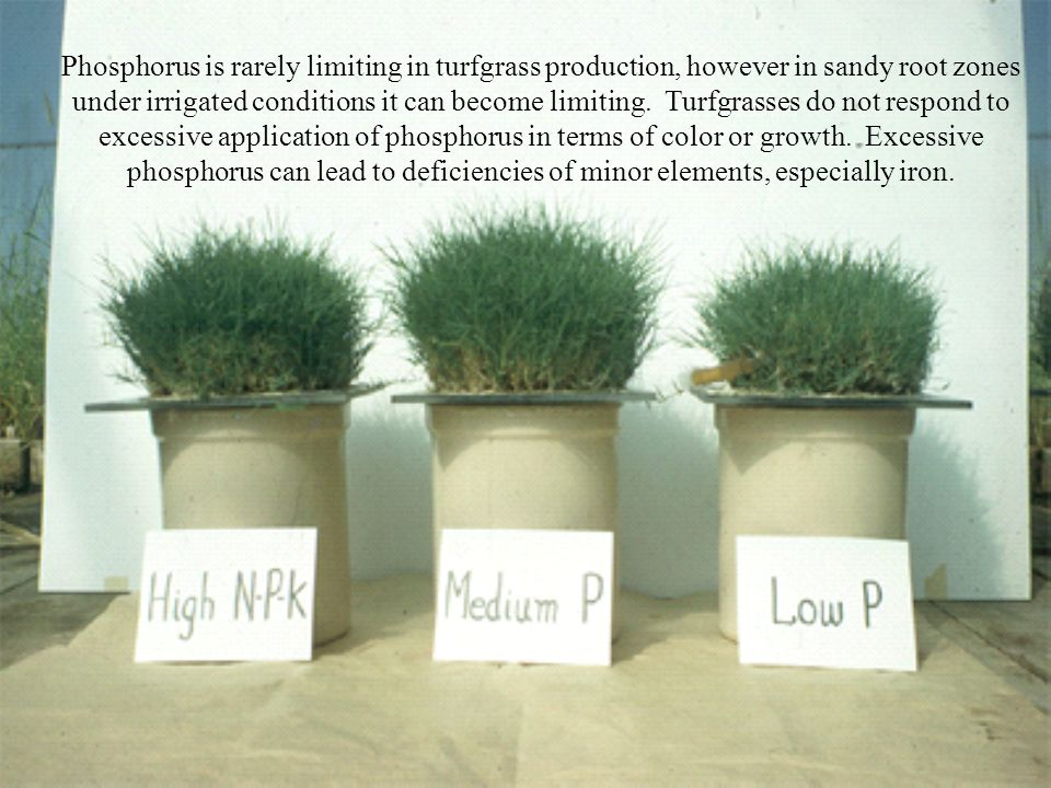 Phosphorus is rarely limiting in turfgrass production, however in sandy root zones under irrigated conditions it can become limiting. Turfgrasses do not respond to excessive application of phosphorus in terms of color or growth. Excessive phosphorus can lead to deficiencies of minor elements, especially iron.