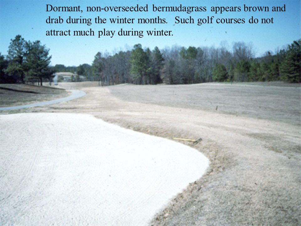 Dormant, non-overseeded bermudagrass appears brown and drab during the winter months. Such golf courses do not attract much play during winter.