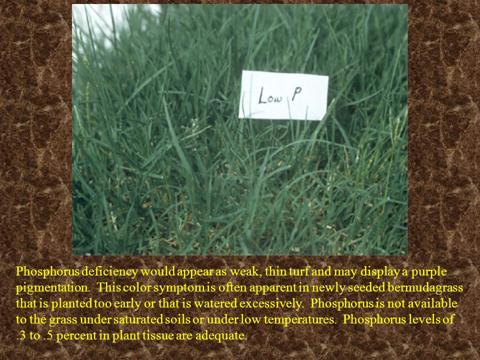 Phosphorus deficiency would appear as weak, thin turf and may display a purple pigmentation. This color symptom is often apparent in newly seeded bermudagrass that is planted too early or that is watered excessively. Phosphorus is not available to the grass under saturated soils or under low temperatures. Phosphorus levels of .3 to .5 percent in plant tissue are adequate.