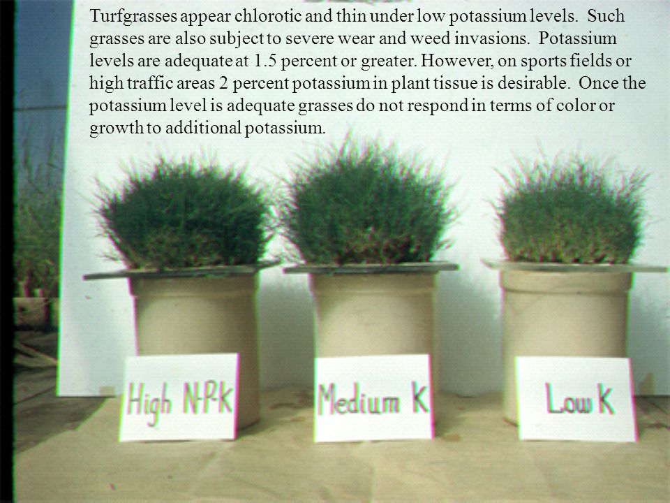 Turfgrasses appear chlorotic and thin under low potassium levels