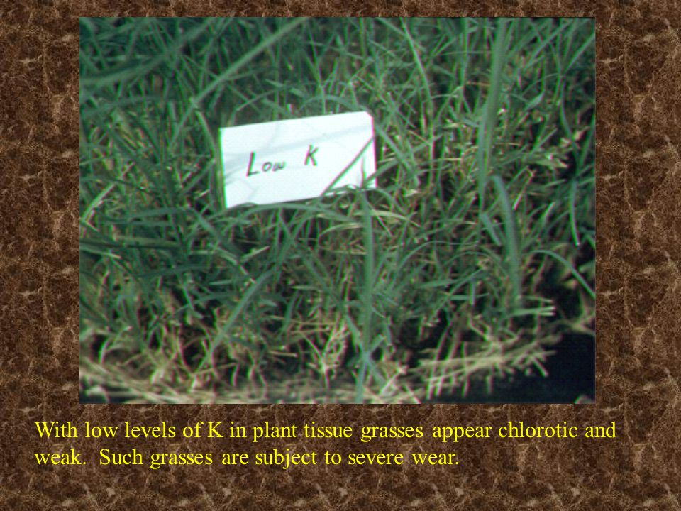With low levels of K in plant tissue grasses appear chlorotic and weak