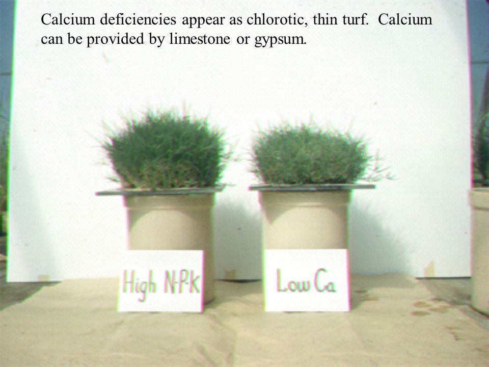 Calcium deficiencies appear as chlorotic, thin turf