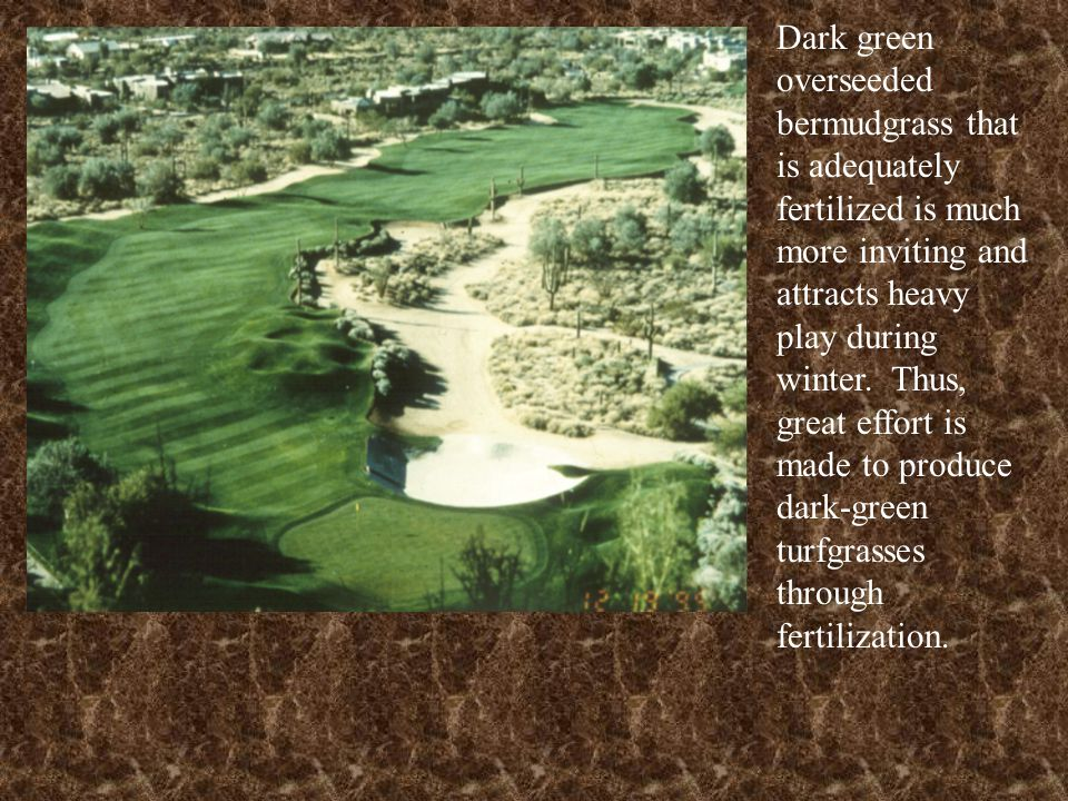 Dark green overseeded bermudgrass that is adequately fertilized is much more inviting and attracts heavy play during winter. Thus, great effort is made to produce dark-green turfgrasses through fertilization.