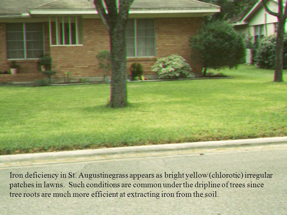 Iron deficiency in St. Augustinegrass appears as bright yellow (chlorotic) irregular patches in lawns. Such conditions are common under the dripline of trees since tree roots are much more efficient at extracting iron from the soil.