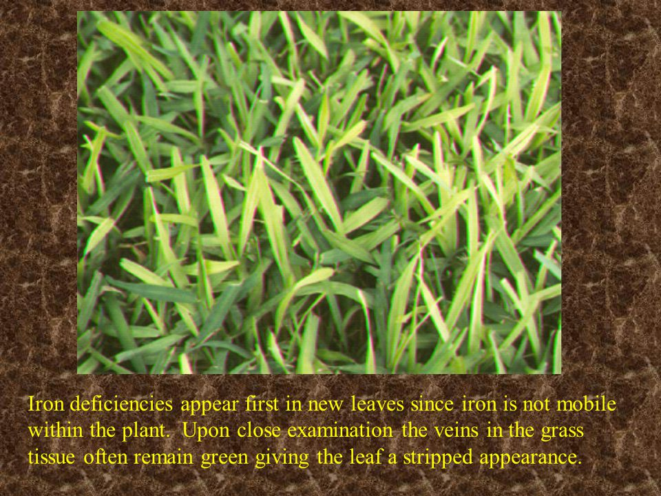 Iron deficiencies appear first in new leaves since iron is not mobile within the plant. Upon close examination the veins in the grass tissue often remain green giving the leaf a stripped appearance.