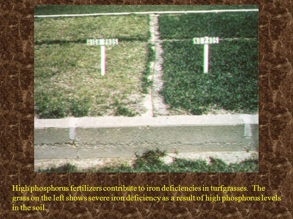 High phosphorus fertilizers contribute to iron deficiencies in turfgrasses. The grass on the left shows severe iron deficiency as a result of high phosphorus levels in the soil.