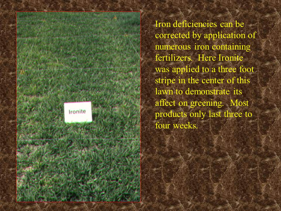 Iron deficiencies can be corrected by application of numerous iron containing fertilizers. Here Ironite was applied to a three foot stripe in the center of this lawn to demonstrate its affect on greening. Most products only last three to four weeks.
