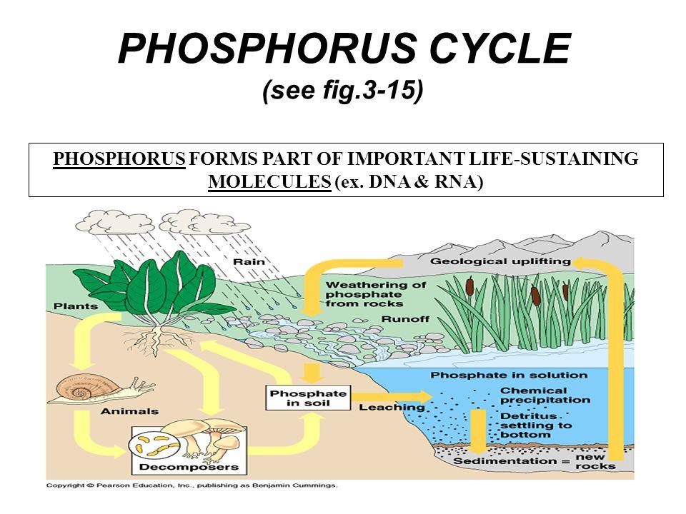 PHOSPHORUS CYCLE (see fig.3-15)
