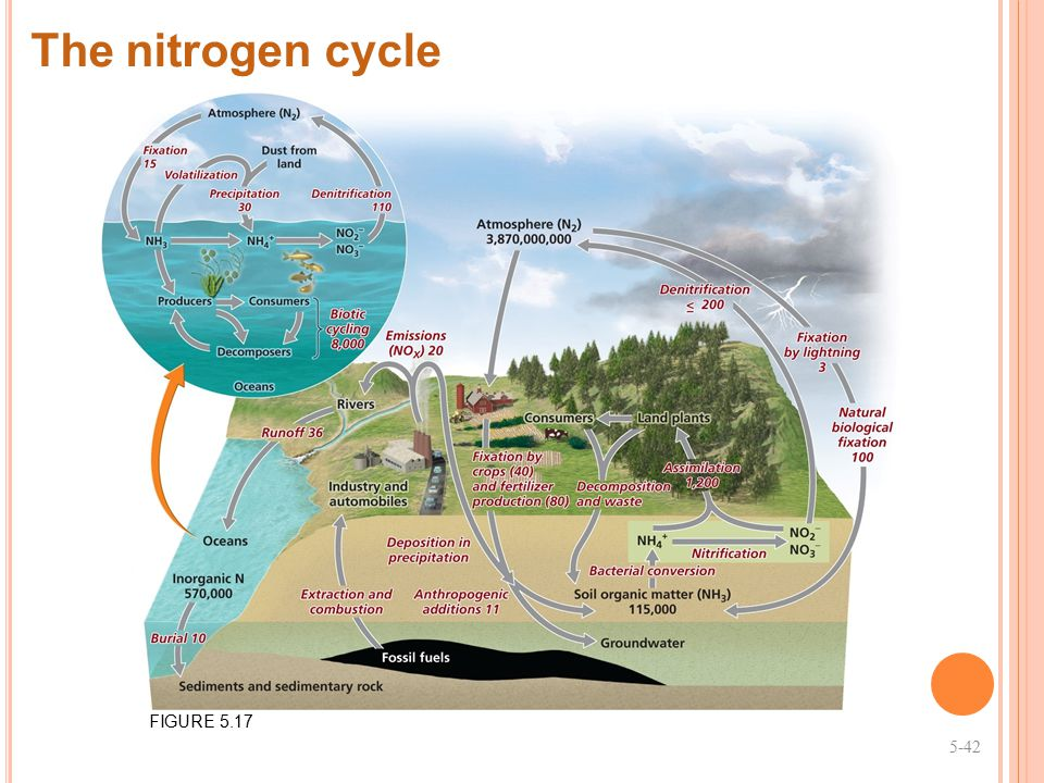 The nitrogen cycle FIGURE 5.17 5-42