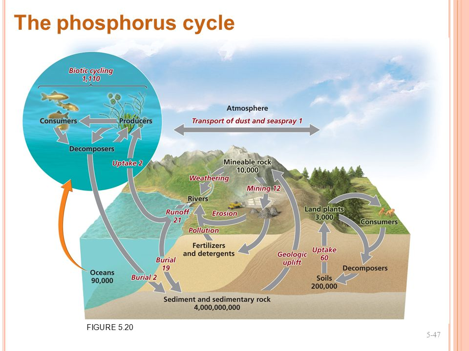 The phosphorus cycle FIGURE 5.20 5-47