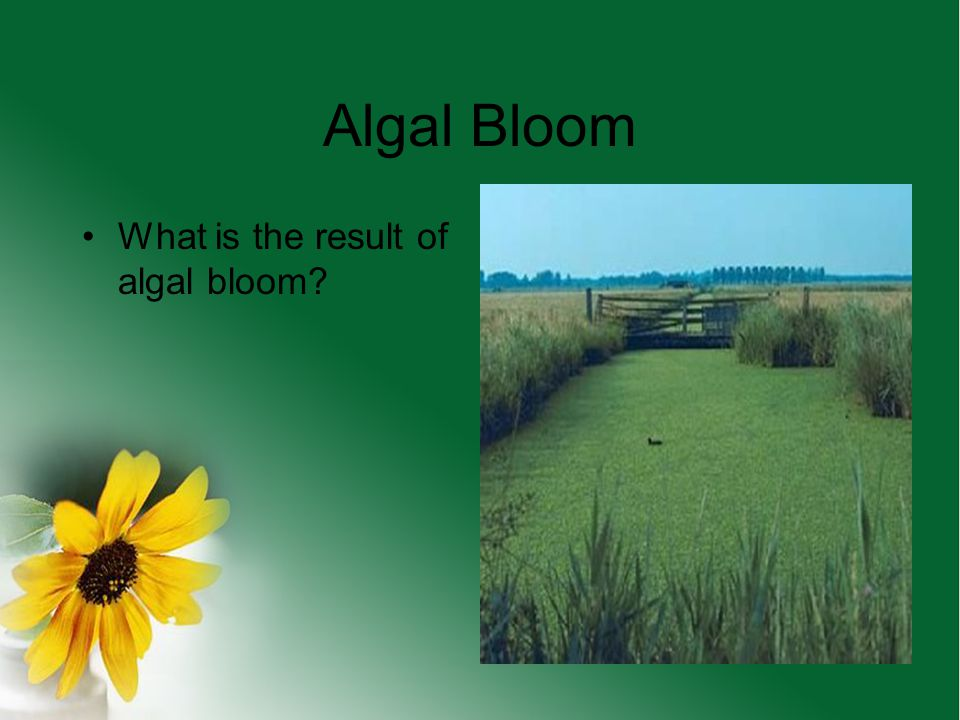 Algal Bloom What is the result of algal bloom