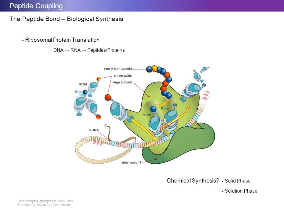 Peptide Coupling The Peptide Bond – Biological Synthesis