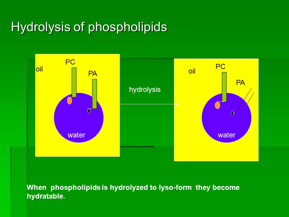 Hydrolysis of phospholipids