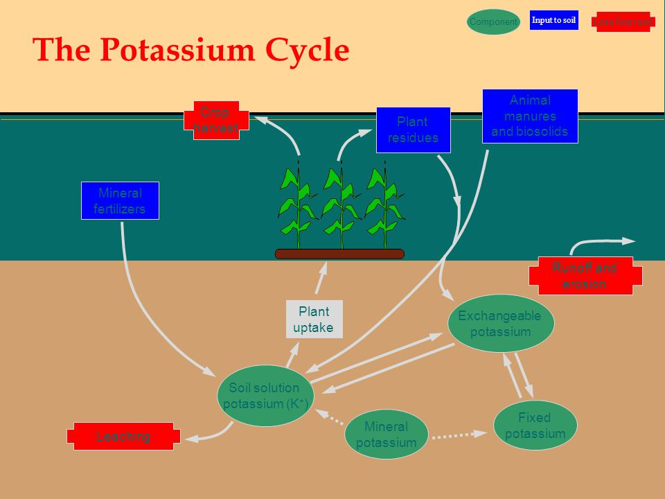 The Potassium Cycle Animal manures Crop and biosolids harvest Plant