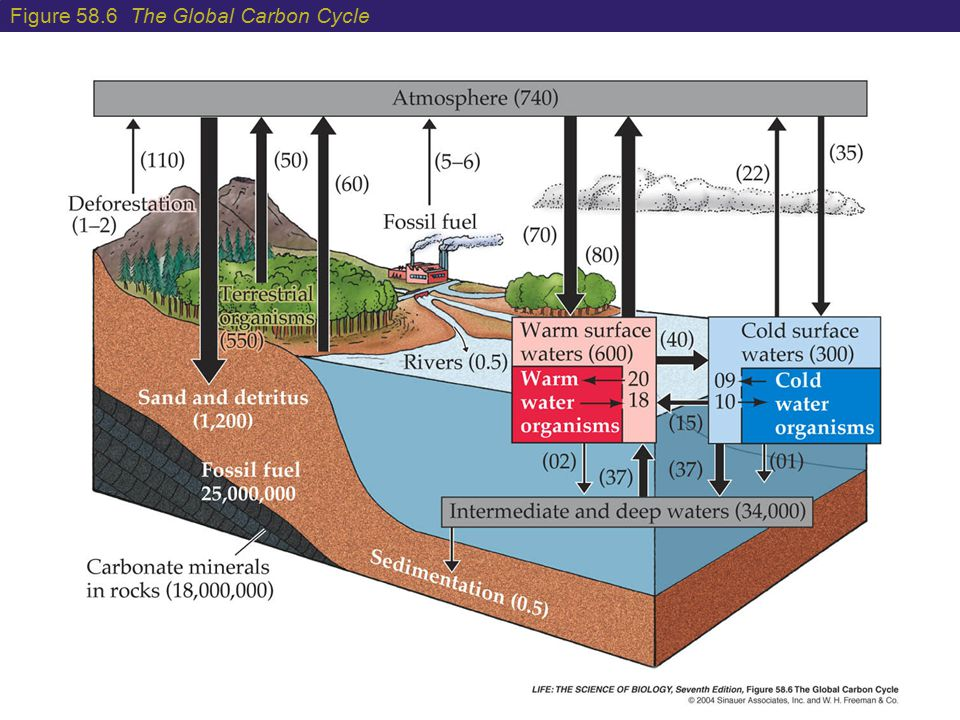 Figure 58.6 The Global Carbon Cycle