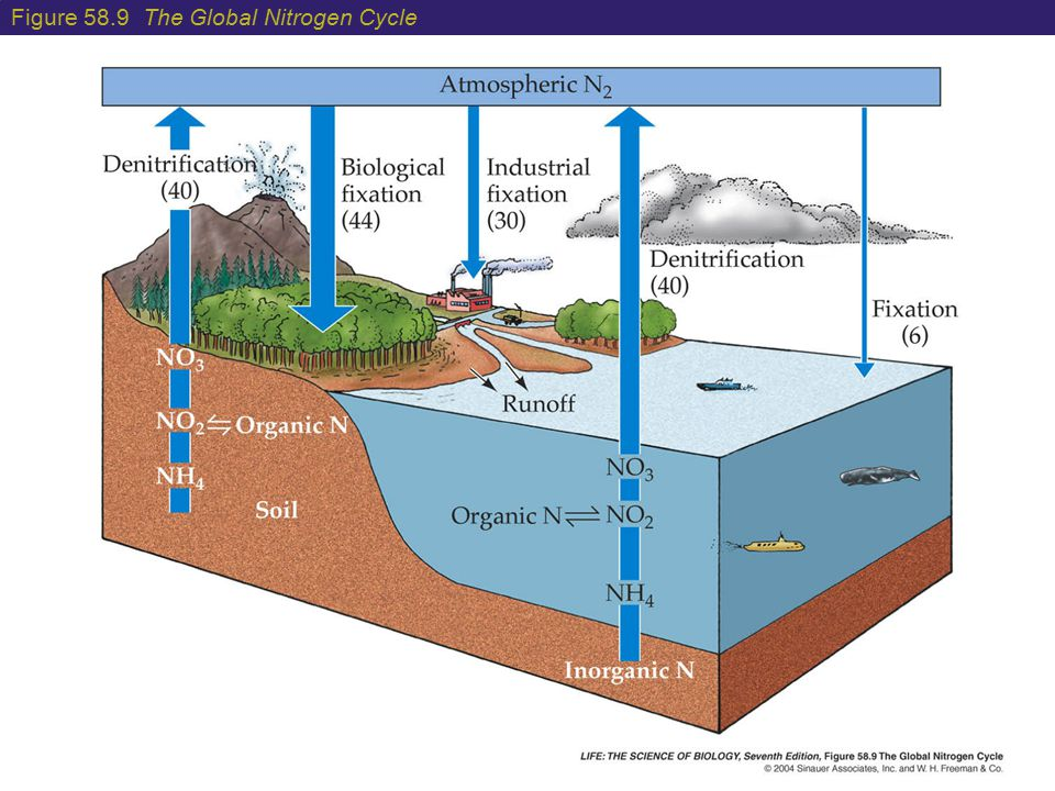 Figure 58.9 The Global Nitrogen Cycle