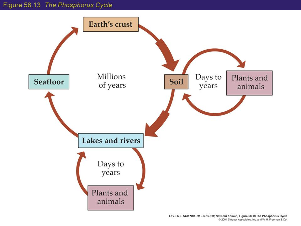 Figure 58.13 The Phosphorus Cycle