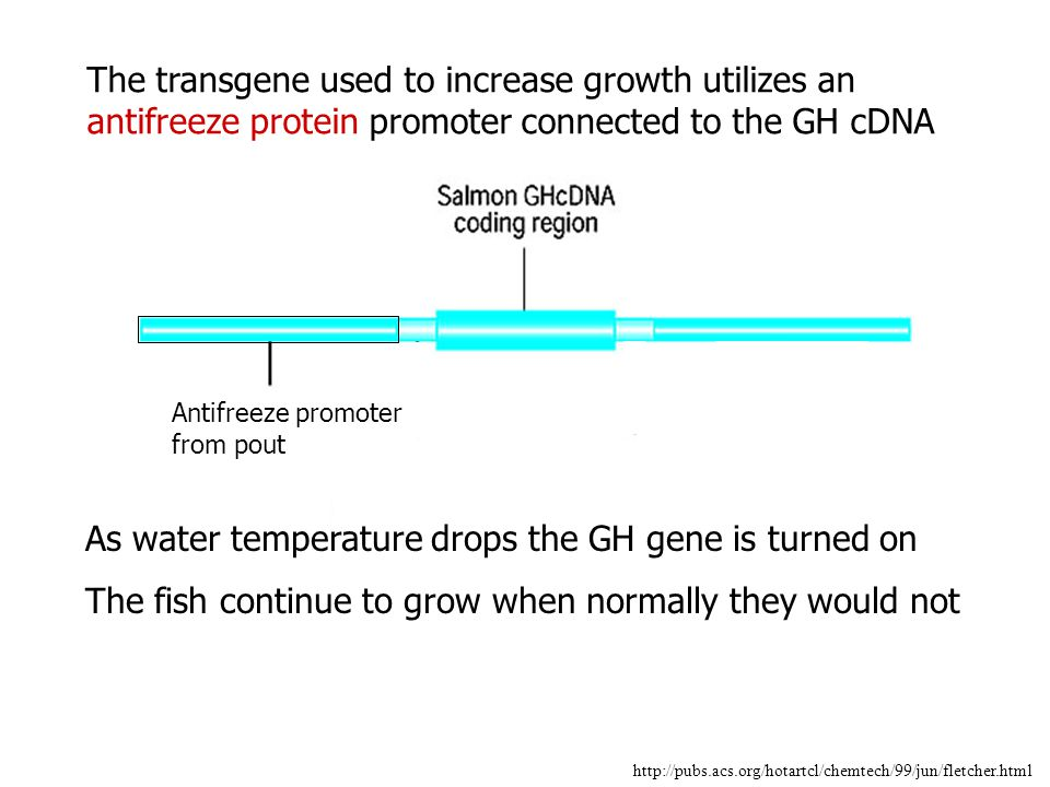 As water temperature drops the GH gene is turned on