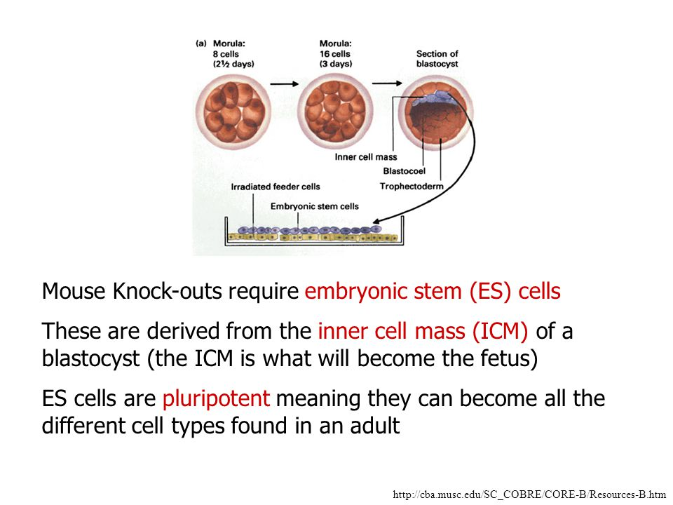 Mouse Knock-outs require embryonic stem (ES) cells