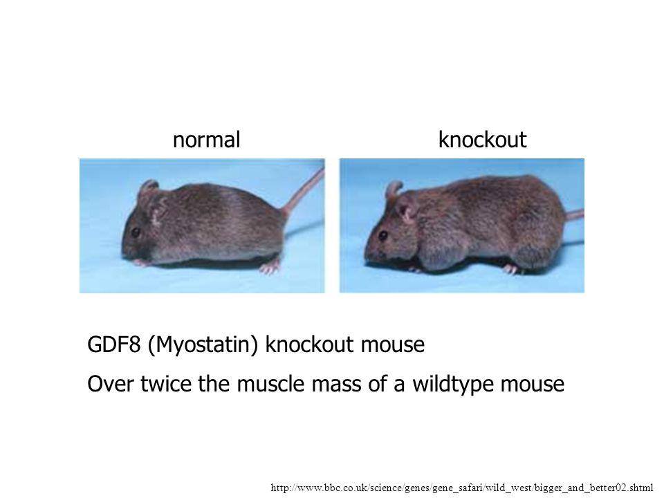 GDF8 (Myostatin) knockout mouse