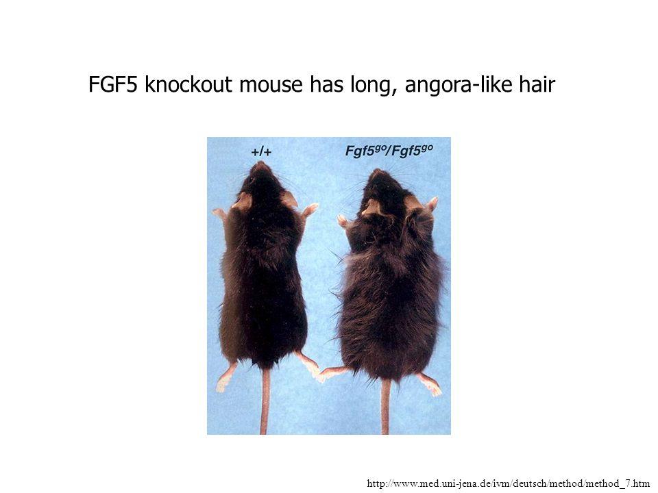 FGF5 knockout mouse has long, angora-like hair