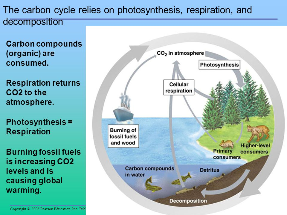 The carbon cycle relies on photosynthesis, respiration, and decomposition