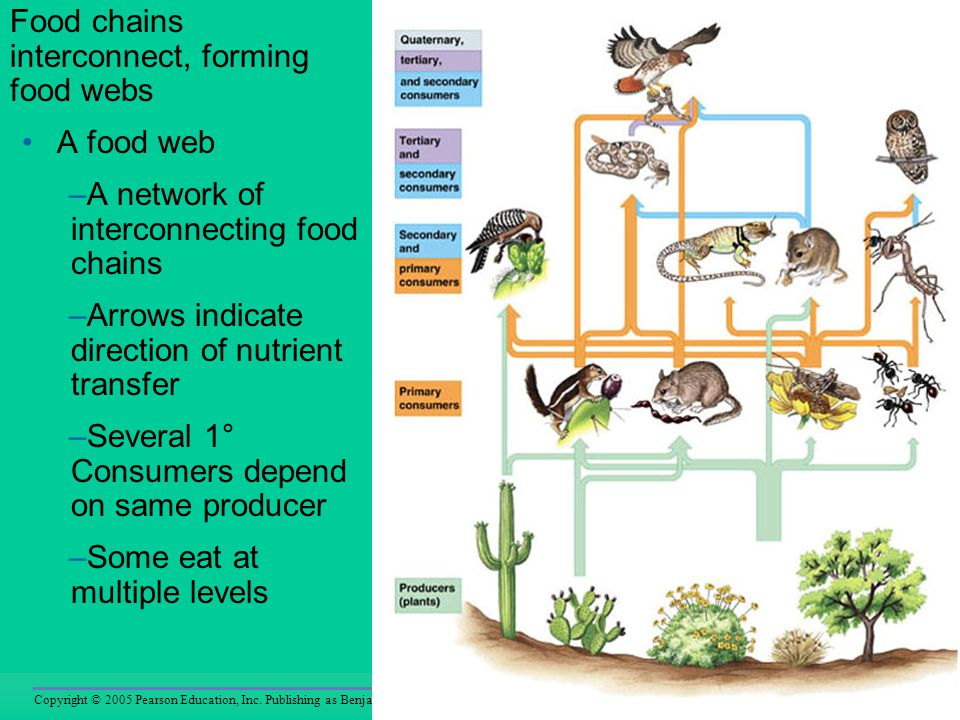 Food chains interconnect, forming food webs