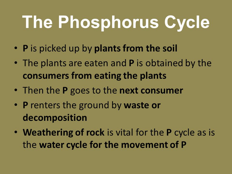 The Phosphorus Cycle P is picked up by plants from the soil