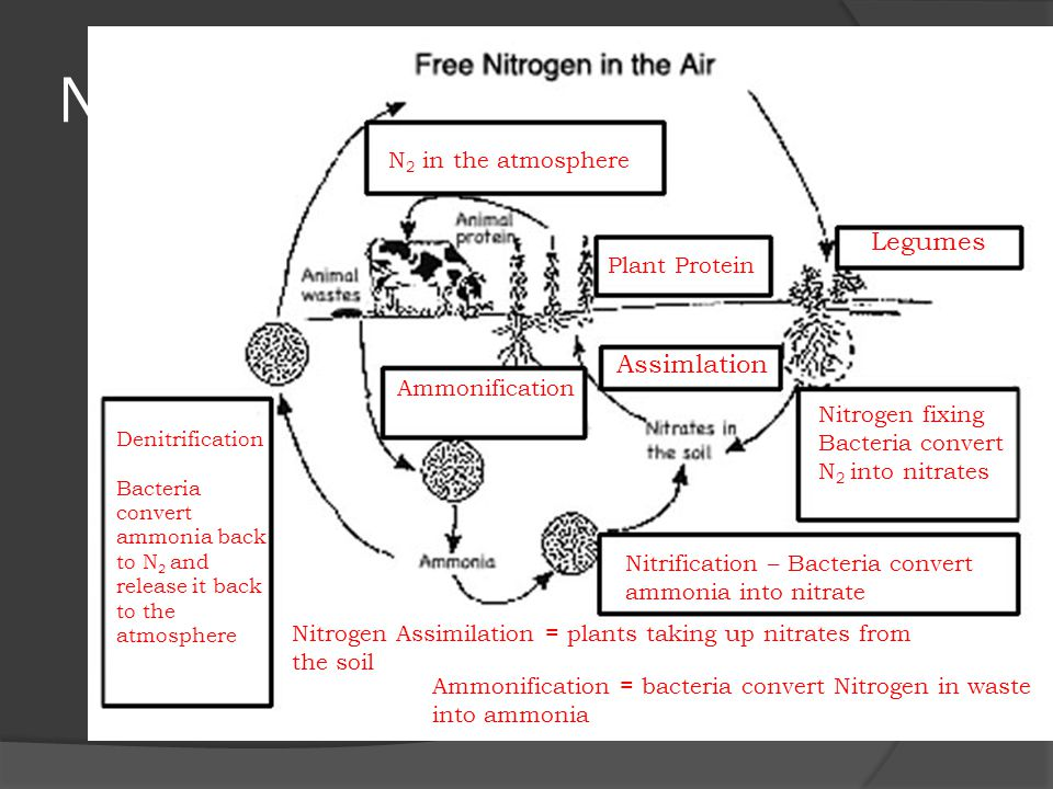 Nitrogen Cycle Legumes Assimlation N2 in the atmosphere Plant Protein