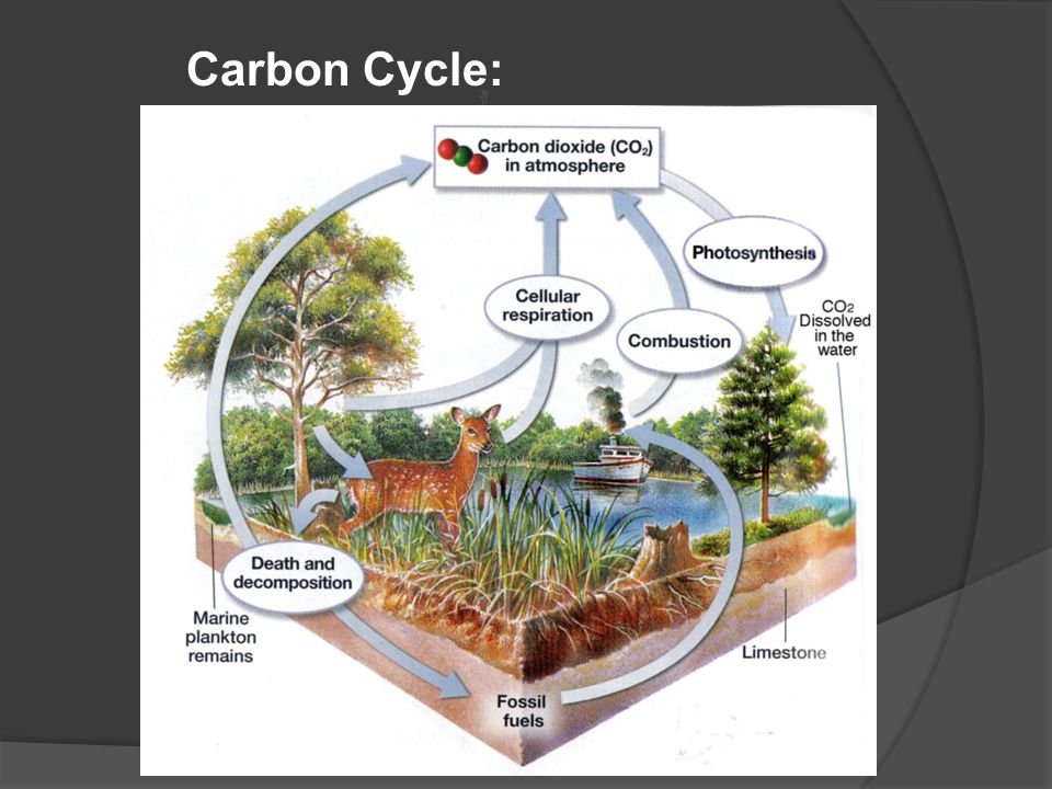 Carbon Cycle: