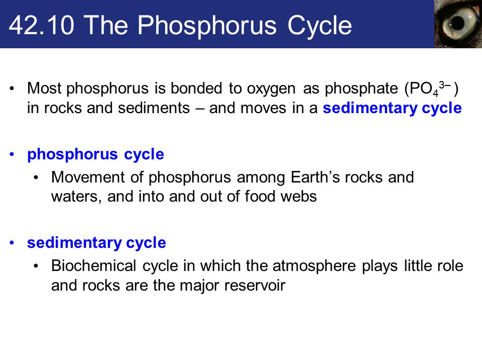 42.10 The Phosphorus Cycle Most phosphorus is bonded to oxygen as phosphate (PO43– ) in rocks and sediments – and moves in a sedimentary cycle.