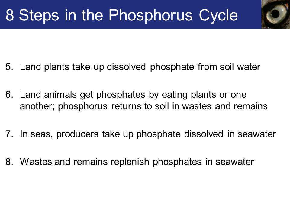 8 Steps in the Phosphorus Cycle
