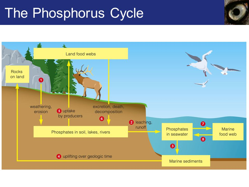 the phosphorous cycle Fact sheet 12 phosphorus basics – the phosphorus cycle agronomy fact sheet series department of crop and soil sciences 1 college of agriculture and life sciences.