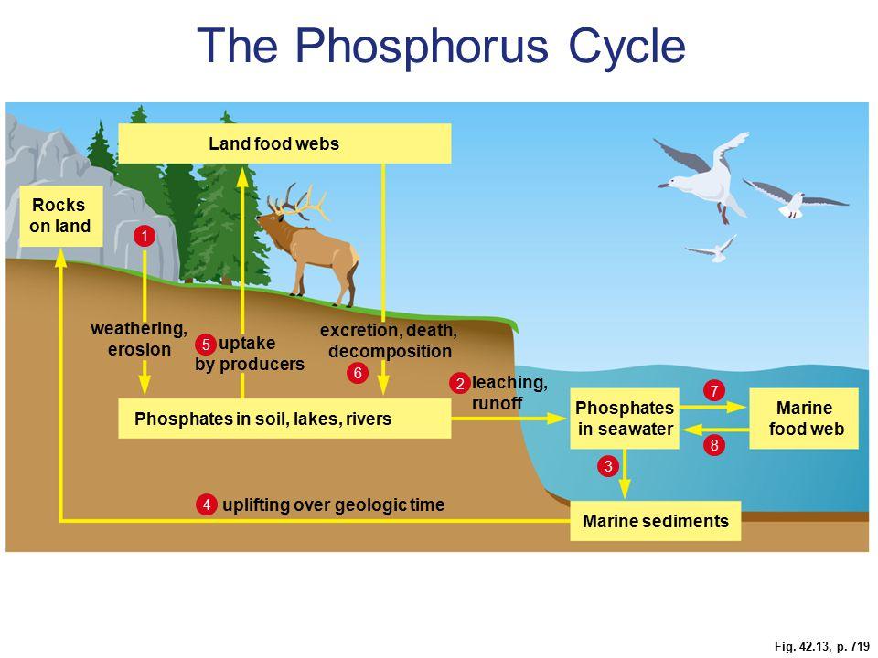 The Phosphorus Cycle Figure 42.13 The phosphorus cycle. Land food webs