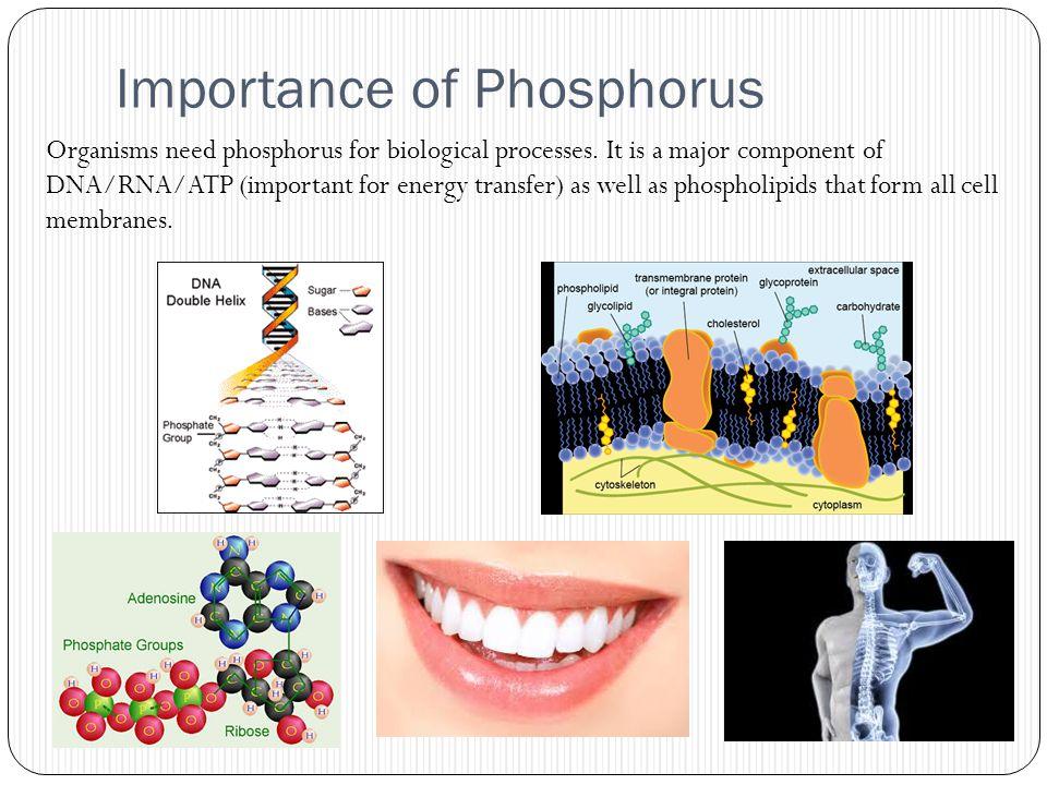 Importance of Phosphorus
