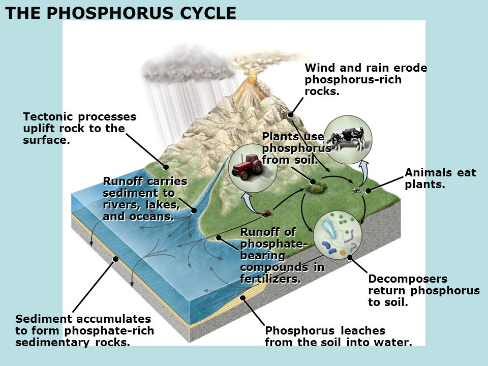 THE PHOSPHORUS CYCLE Wind and rain erode phosphorus-rich rocks.