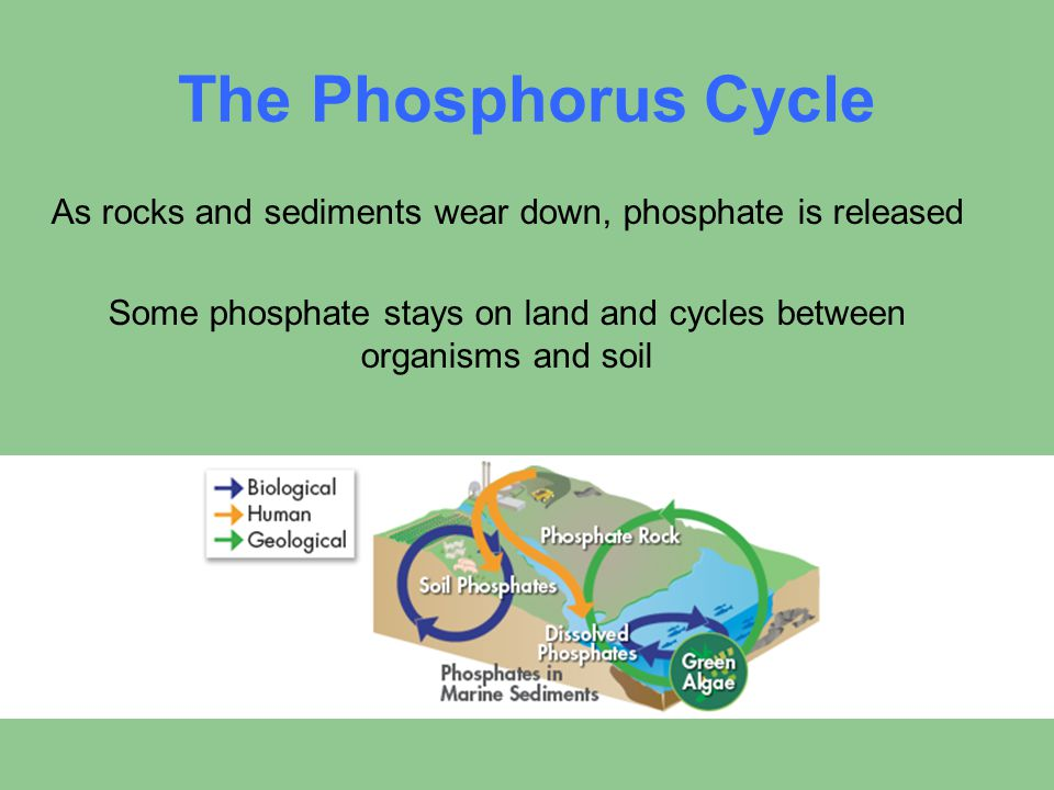 The Phosphorus Cycle As rocks and sediments wear down, phosphate is released.