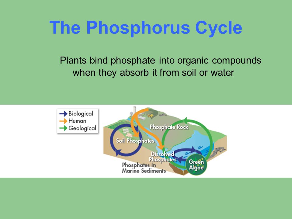 The Phosphorus Cycle Plants bind phosphate into organic compounds when they absorb it from soil or water.