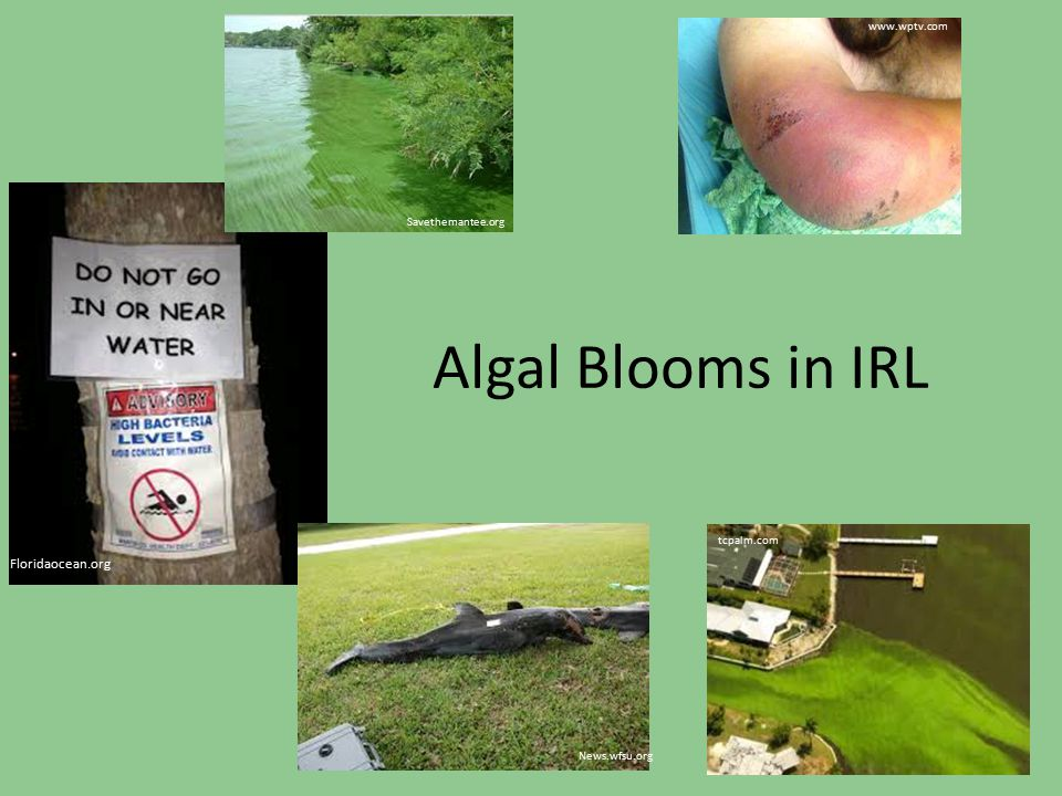 Algal Blooms in IRL Floridaocean.org www.wptv.com Savethemantee.org